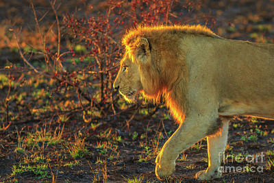Photograph - Male Lion Walking Kruger by Benny Marty