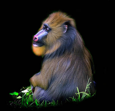 Photograph - Male Mandrill by Photo By Steve Wilson
