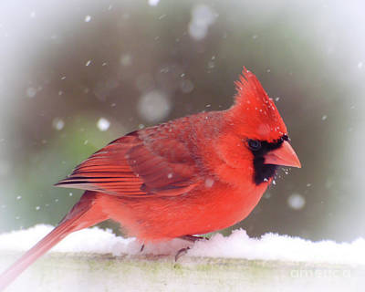 Photograph - Male Northern Cardinal As The Snow Falls by Kerri Farley