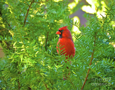 Photograph - Male Northern Cardinal - Red Bird In The Pines by Kerri Farley