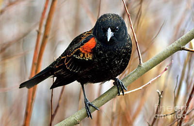 Hollywood Style - Male Red Wing Blackbird by Terry Elniski