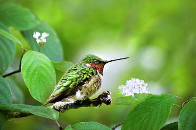Photograph - Male Ruby Throated Hummingbird Perched by Christina Rollo