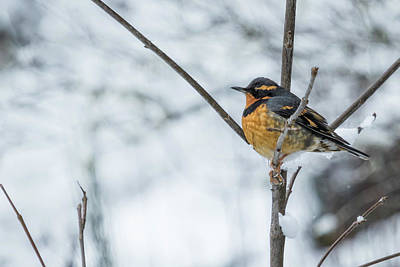 Photograph - Male Varied Thrush by Belinda Greb