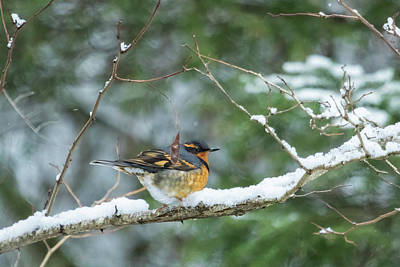 Photograph - Male Varied Thrush, No. 2 by Belinda Greb