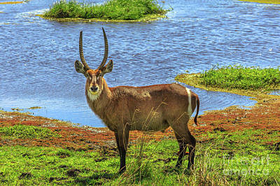 Photograph - Male Waterbuck On A River by Benny Marty