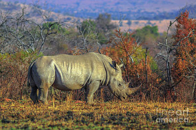Photograph - Male White Rhino by Benny Marty