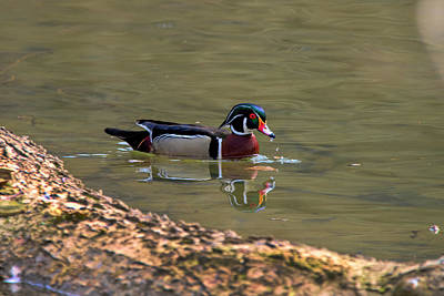 Photograph - Male Wood Duck Near Log by Dan Friend
