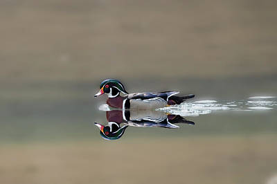 Photograph - Male Wood Duck Reflection by Dan Friend