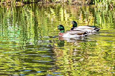 Photograph - Mallard Drakes Colorful by Kate Brown