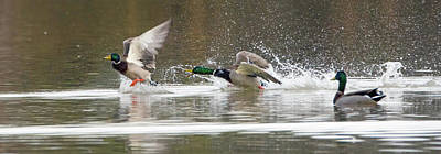 Photograph - Mallard Duck Chase 0983-011419 by Tam Ryan