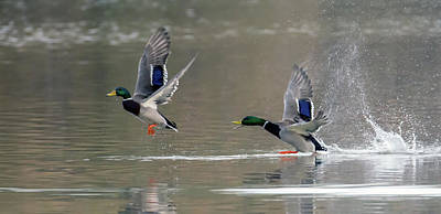 Photograph - Mallard Duck Chase 0985-011419 by Tam Ryan