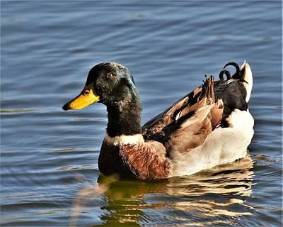 Photograph - Mallard Duck Posing by Kim Bemis