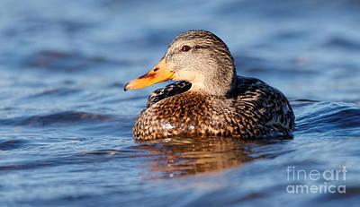 Photograph - Mallard Duck Relaxing by Sue Harper