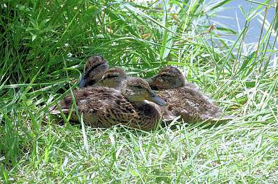 Photograph - Mallard Ducklings by Elaine Manley
