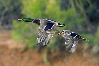 Photograph - Mallard Ducks 0862-010919 by Tam Ryan