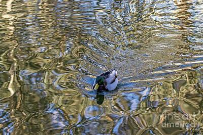 Photograph - Mallard Fantail by Kate Brown