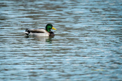 Photograph - Mallard Male Swimming by Edward Peterson