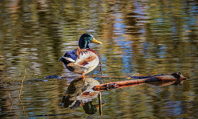 Photograph - Mallard Reflection #i0 by Leif Sohlman