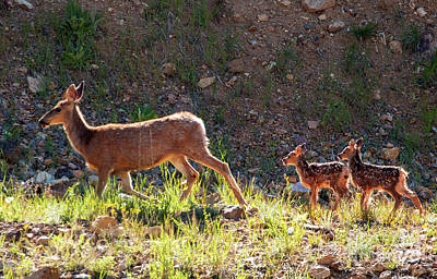 Steven Krull Royalty-Free and Rights-Managed Images - Mama Deer and Fawns by Steven Krull