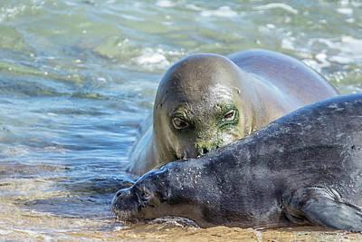 Photograph - Mama Monk Seal And Pup At The Shoreline, No. 3 - Rb00 And Pk1 by Belinda Greb