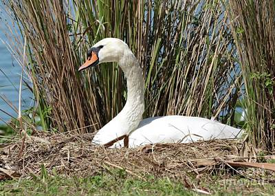 Photograph - Mama Swan On Nest by Carol Groenen