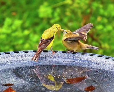 Fleetwood Mac - Mamma Goldfinch Feeding Fledgling by Laura Vilandre