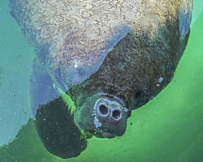 Photograph - Manatee Coming Up For Air Mexico Mx Nose by Toby McGuire
