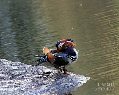 Photograph - Mandarin Duck 3 by Patricia Youngquist
