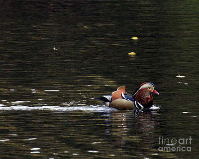 Photograph - Mandarin Duck 7 by Patricia Youngquist