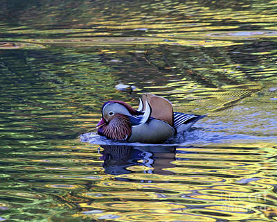 Photograph - Mandarin Duck 9 by Patricia Youngquist