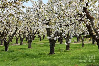 Photograph - Many Cherry Blossoms In Spring Orchard by Carol Groenen