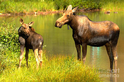 Photograph - Many Glacier Cow And Calf Moose by Adam Jewell