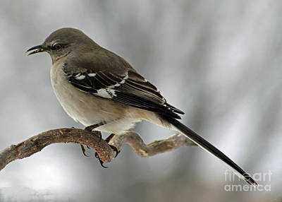 Birds Rights Managed Images - Many Tongued Mimic - Northern Mockingbird Royalty-Free Image by Cindy Treger