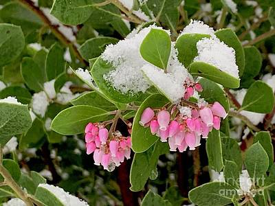 Photograph - Manzanita Snow by Sean Griffin