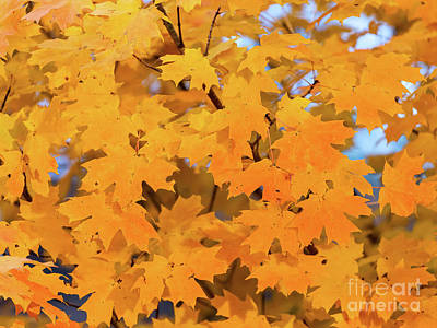 Photograph - Maple-2 by Charles Hite