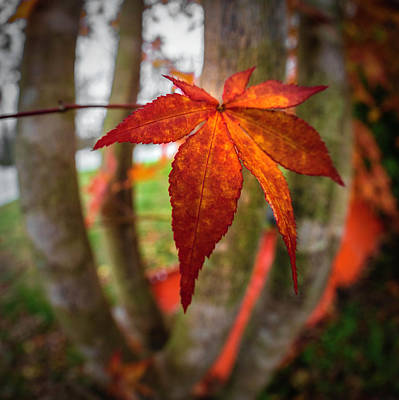 Photograph - Maple Leaf In Autumn In Square by Debra and Dave Vanderlaan