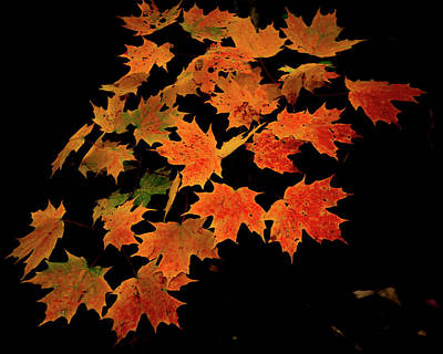 Photograph - Maple Leaves On Black by Tim Kirchoff