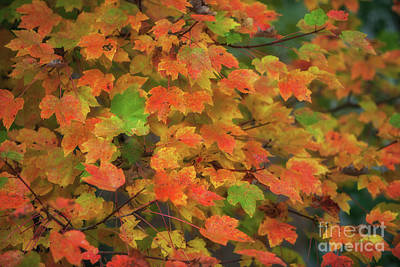Photograph - Maple Tree - Autumn Leaves by Dale Powell