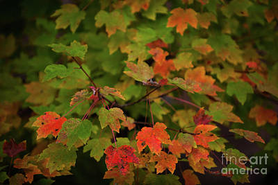 Photograph - Maple Tree - Fall Color by Dale Powell