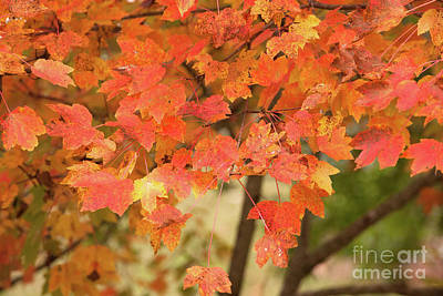 Photograph - Maple Tree - Fall Foliage by Dale Powell