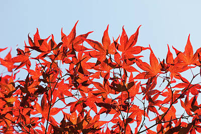 Maple Tree Foliage Art Print by Andrew Dernie