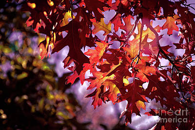 Photograph - Maple's Last Light by Susan Warren