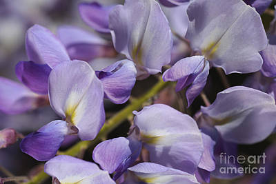 Photograph - Marching In Wisteria Flowers  by Joy Watson