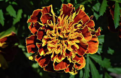 Photograph - Marigold by Larah McElroy