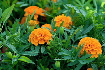 Photograph - Marigolds by Tom Buchanan
