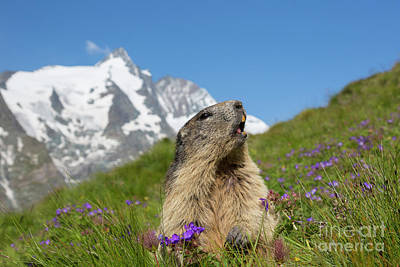 Photograph - Marmot Calling by Arterra Picture Library