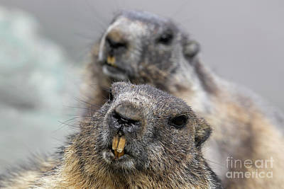 Photograph - Marmot Couple by Arterra Picture Library