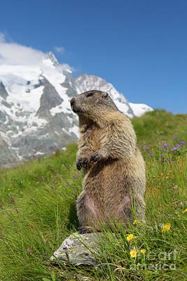 Photograph - Marmot In The Alps by Arterra Picture Library