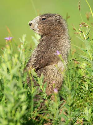 Royalty-Free and Rights-Managed Images - Marmot Youngster by Mike Dawson