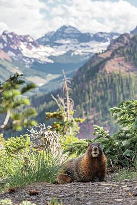 Photograph - Maroon Bells Marmot by Tamara Susa